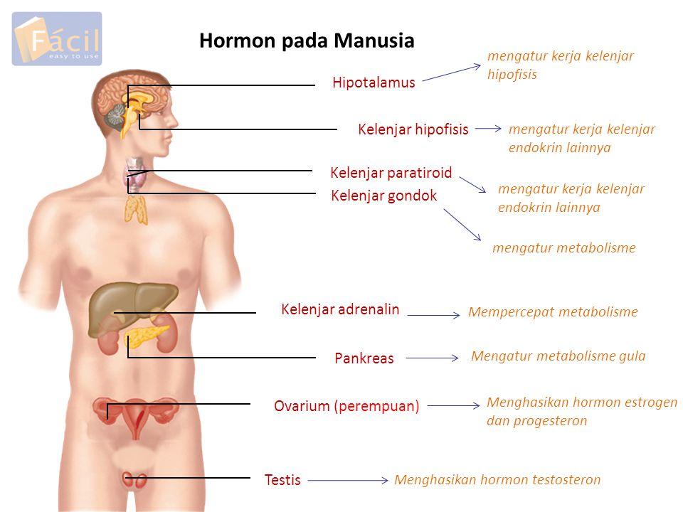 Hormon pada Manusia Hipotalamus Kelenjar hipofisis Kelenjar paratiroid