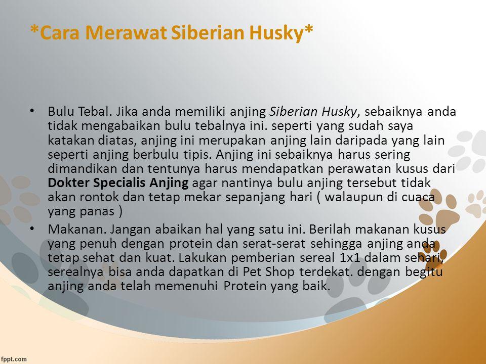 *Cara Merawat Siberian Husky*