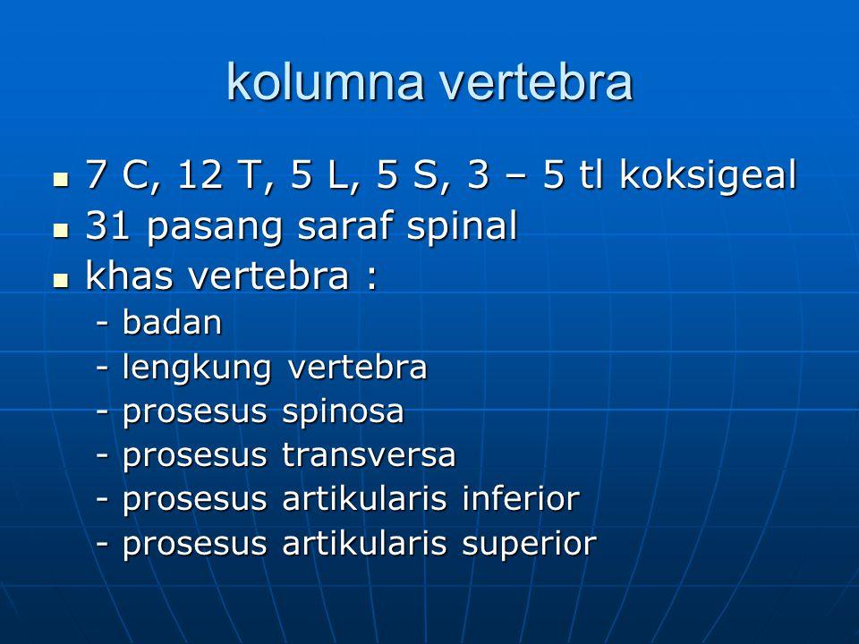 kolumna vertebra 7 C, 12 T, 5 L, 5 S, 3 – 5 tl koksigeal