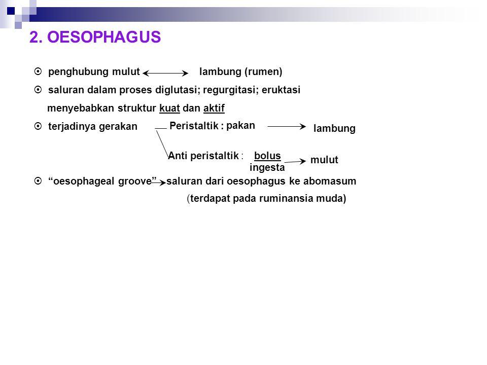 2. OESOPHAGUS penghubung mulut lambung (rumen)