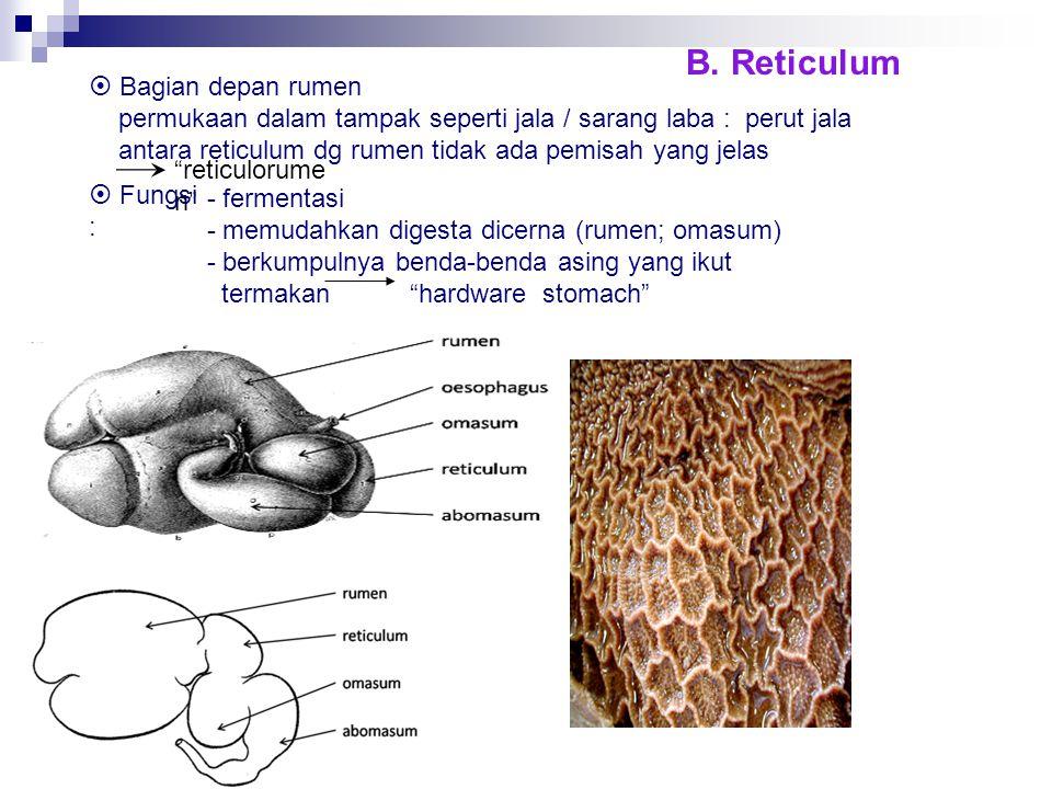 B. Reticulum