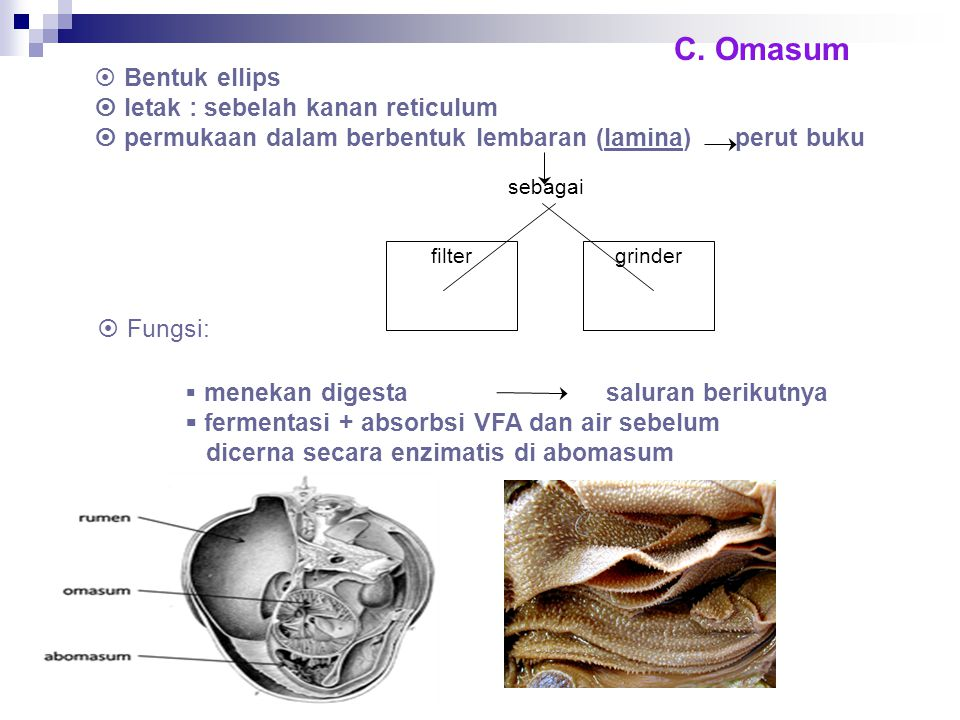 C. Omasum Bentuk ellips  letak : sebelah kanan reticulum  permukaan dalam berbentuk lembaran (lamina) perut buku.