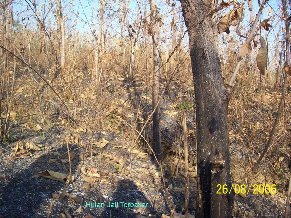 Hutan Jati Terbakar