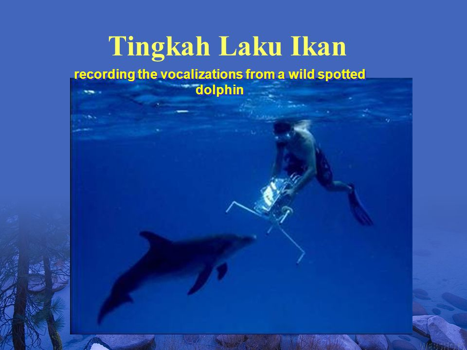 recording the vocalizations from a wild spotted dolphin