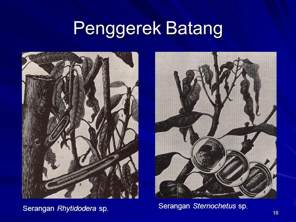 Penggerek Batang Serangan Sternochetus sp. Serangan Rhytidodera sp.