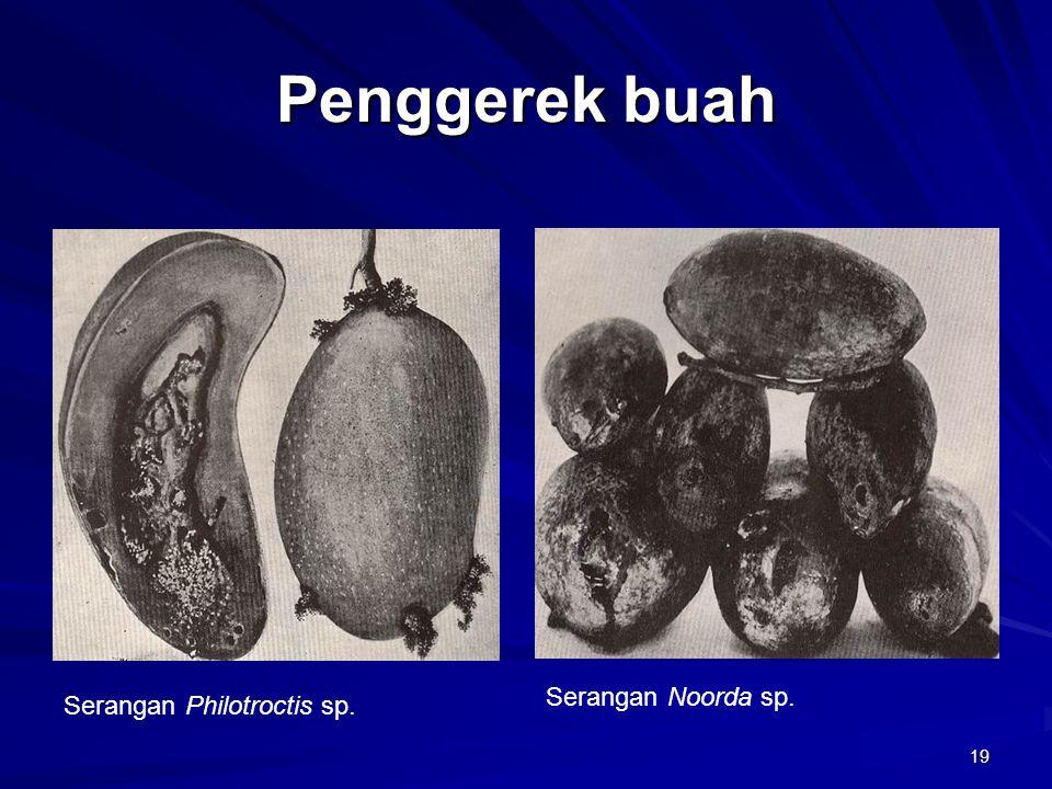 Penggerek buah Serangan Noorda sp. Serangan Philotroctis sp.