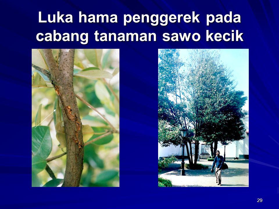 Luka hama penggerek pada cabang tanaman sawo kecik