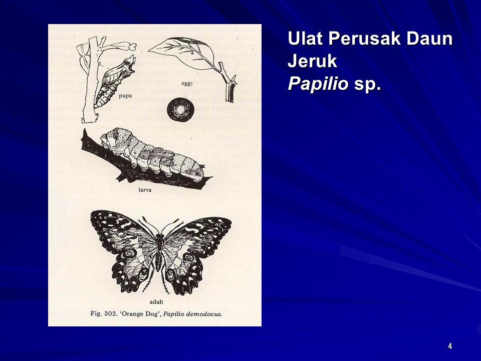 Ulat Perusak Daun Jeruk Papilio sp.
