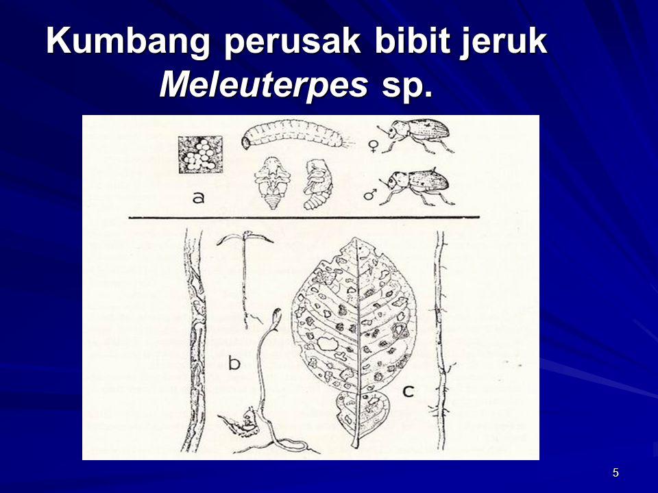 Kumbang perusak bibit jeruk Meleuterpes sp.