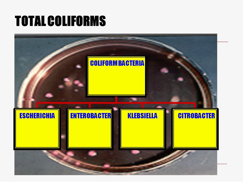 TOTAL COLIFORMS COLIFORM BACTERIA ESCHERICHIA ENTEROBACTER KLEBSIELLA