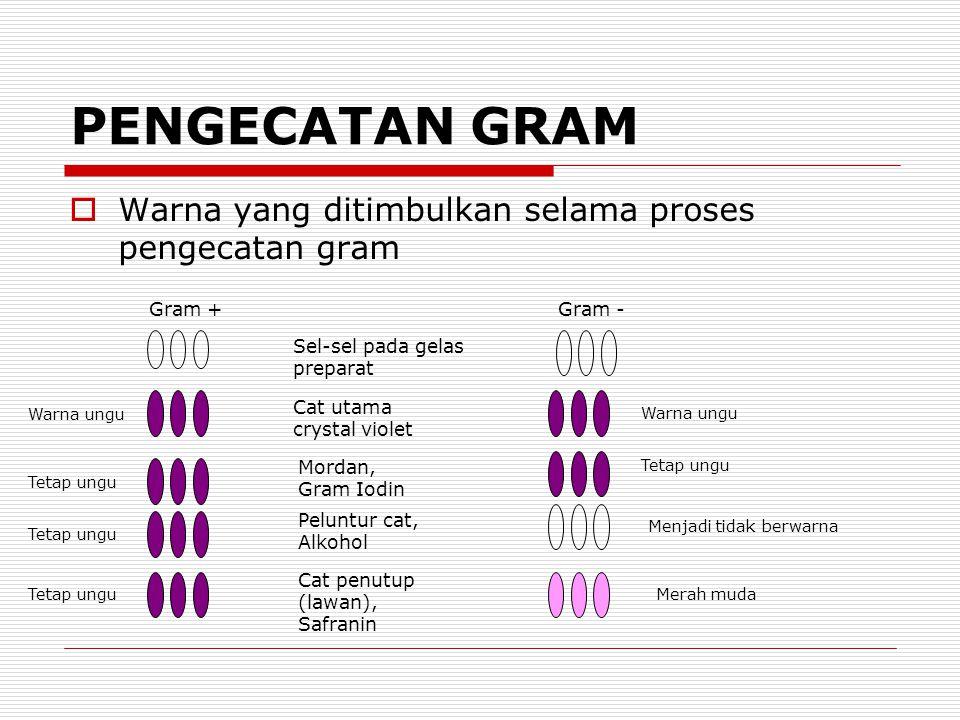PENGECATAN GRAM Warna yang ditimbulkan selama proses pengecatan gram