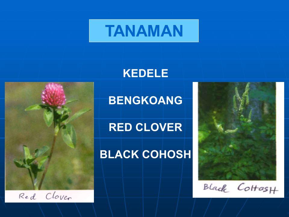 TANAMAN KEDELE BENGKOANG RED CLOVER BLACK COHOSH