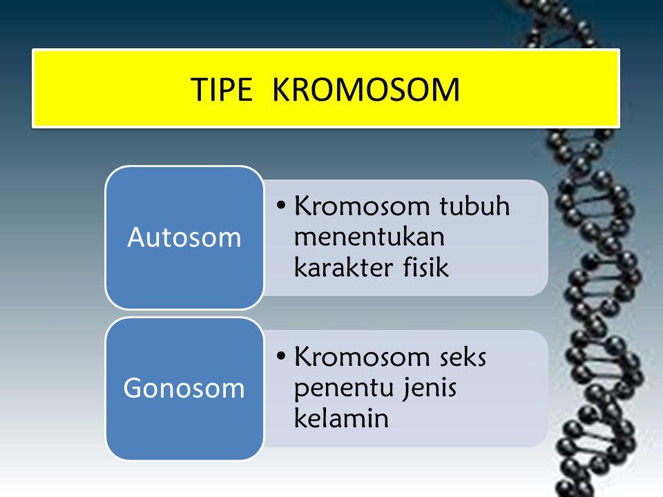 TIPE KROMOSOM Autosom Gonosom Kromosom tubuh menentukan karakter fisik