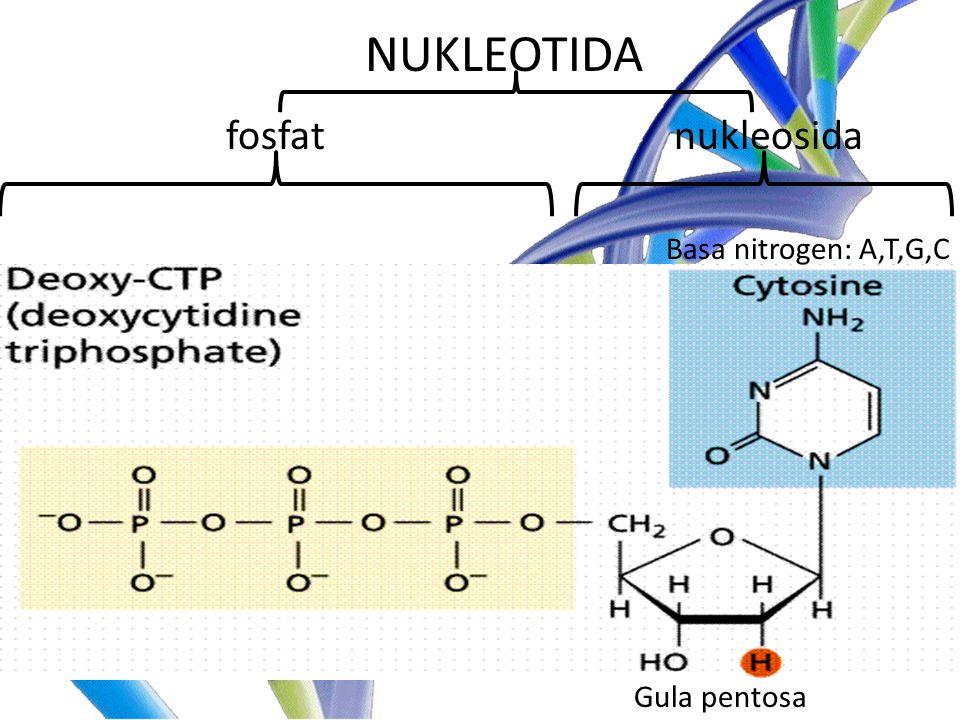 NUKLEOTIDA fosfat nukleosida Basa nitrogen: A,T,G,C Gula pentosa