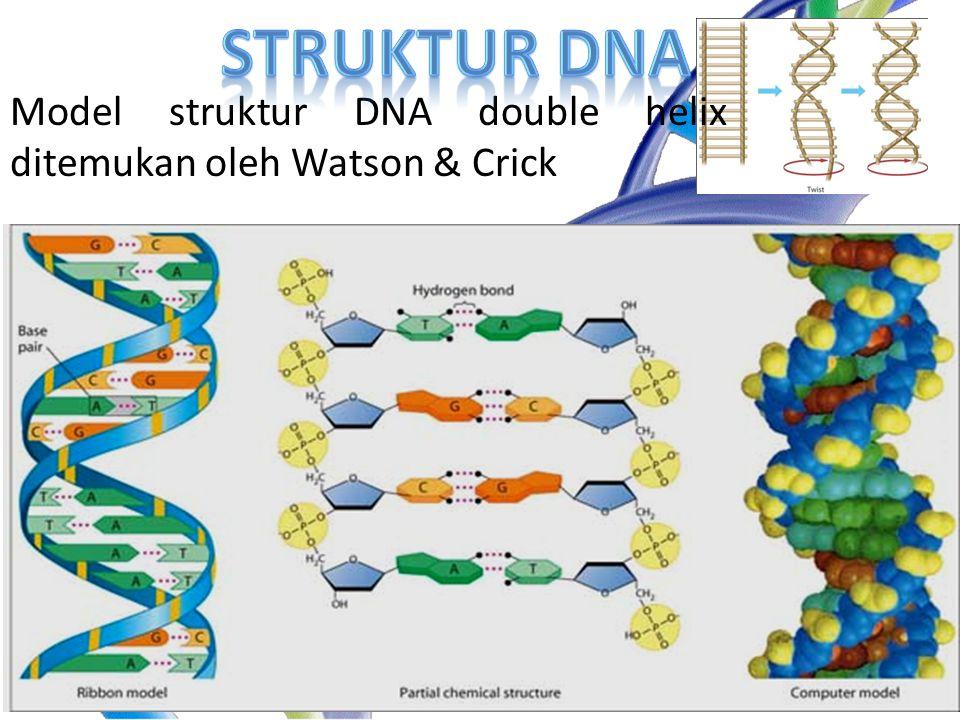 Struktur DNA Model struktur DNA double helix ditemukan oleh Watson & Crick