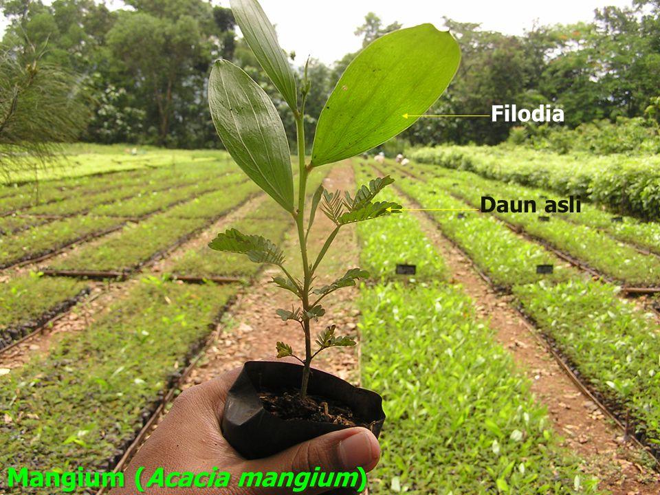 Mangium (Acacia mangium)