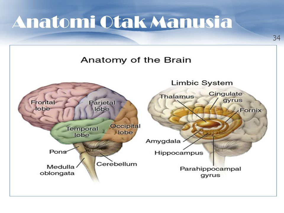 Anatomi Otak Manusia OTAK MANUSIA