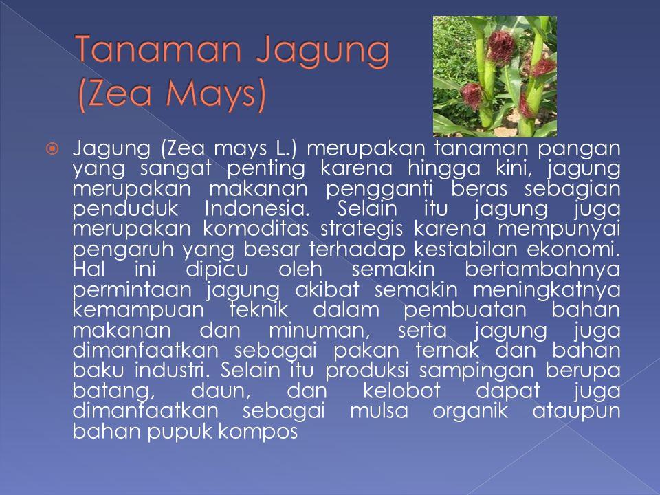 Tanaman Jagung (Zea Mays)