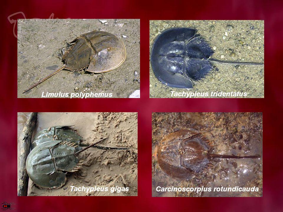 Limulus polyphemus Tachypleus tridentatus Tachypleus gigas Carcinoscorpius rotundicauda