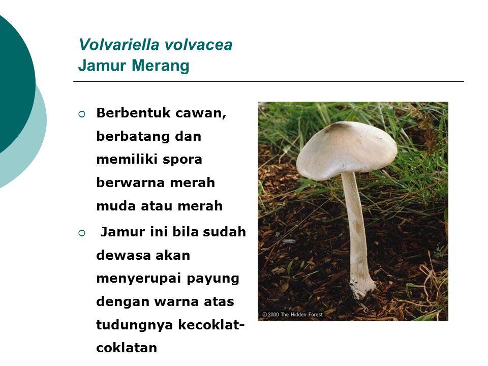 Volvariella volvacea Jamur Merang