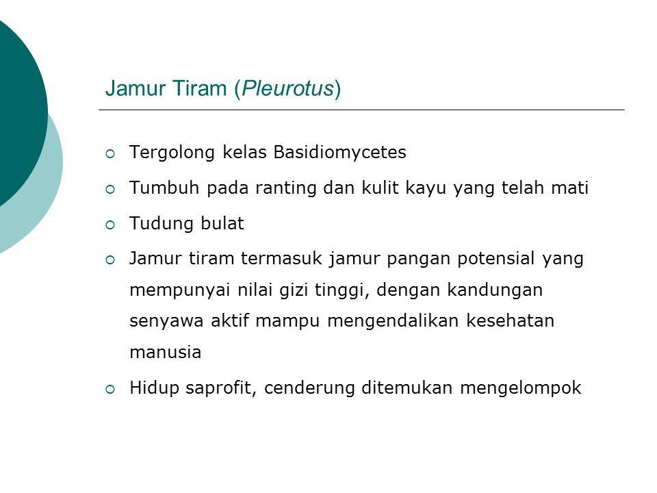 Jamur Tiram (Pleurotus)