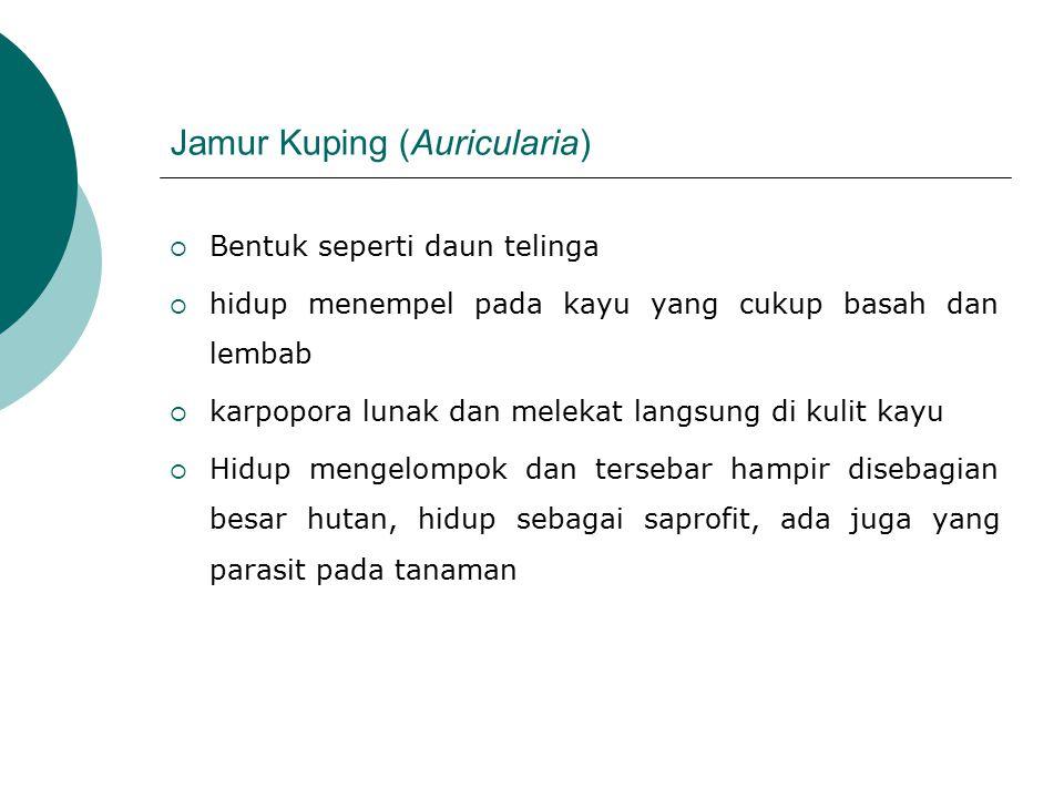 Jamur Kuping (Auricularia)