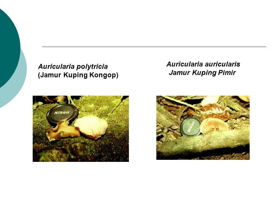 Auricularia auricularis