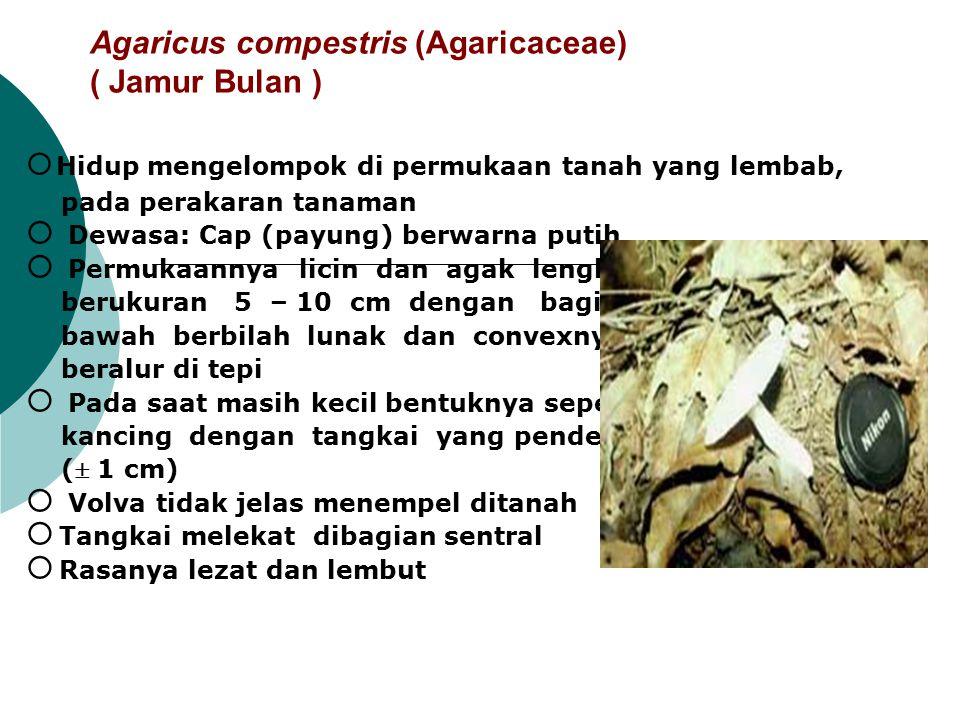 Agaricus compestris (Agaricaceae) ( Jamur Bulan )