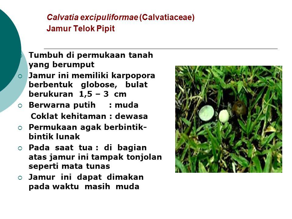 Calvatia excipuliformae (Calvatiaceae) Jamur Telok Pipit