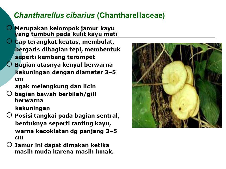 Chantharellus cibarius (Chantharellaceae)