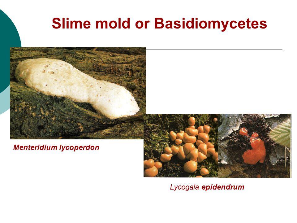 Slime mold or Basidiomycetes