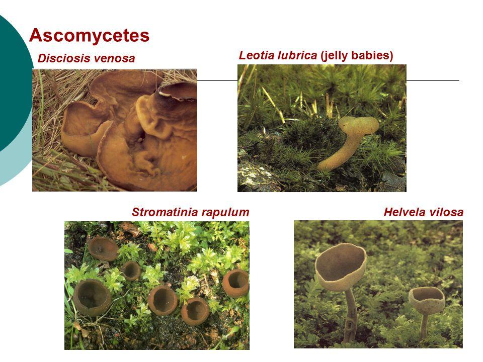 Ascomycetes Disciosis venosa Leotia lubrica (jelly babies)