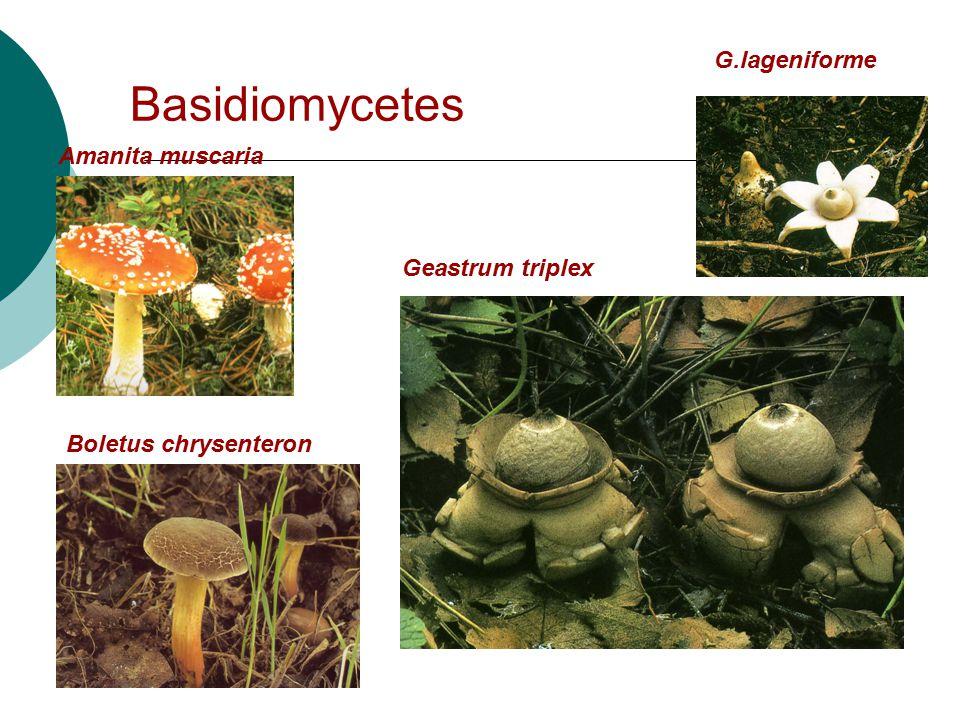 Basidiomycetes G.lageniforme Amanita muscaria Geastrum triplex