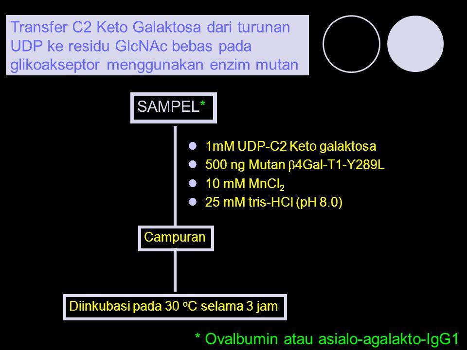 * Ovalbumin atau asialo-agalakto-IgG1