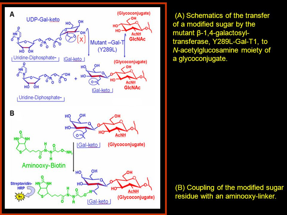 (A) Schematics of the transfer of a modified sugar by the mutant β-1,4-galactosyl-transferase, Y289L-Gal-T1, to N-acetylglucosamine moiety of a glycoconjugate.