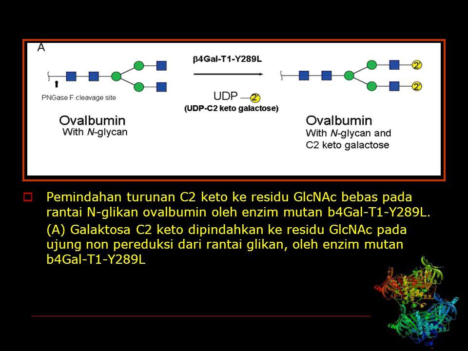Pemindahan turunan C2 keto ke residu GlcNAc bebas pada rantai N-glikan ovalbumin oleh enzim mutan b4Gal-T1-Y289L.