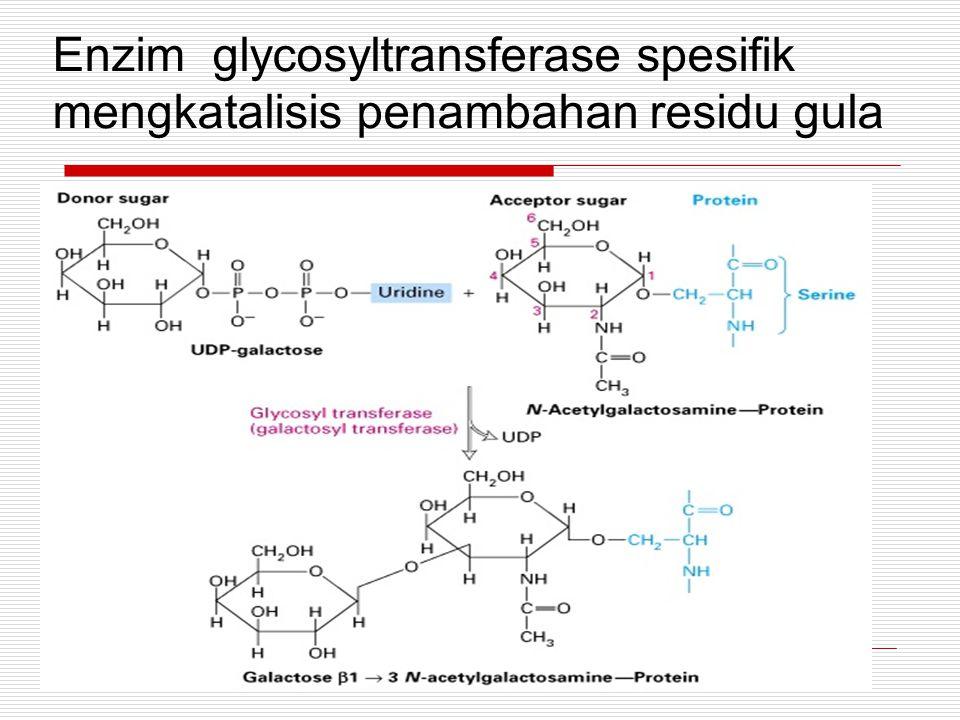Enzim glycosyltransferase spesifik mengkatalisis penambahan residu gula