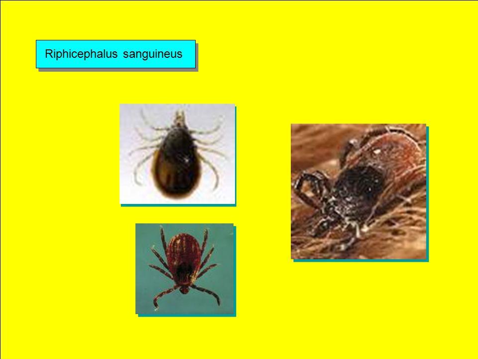 Riphicephalus sanguineus