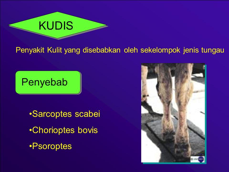 KUDIS Penyebab Sarcoptes scabei Chorioptes bovis Psoroptes