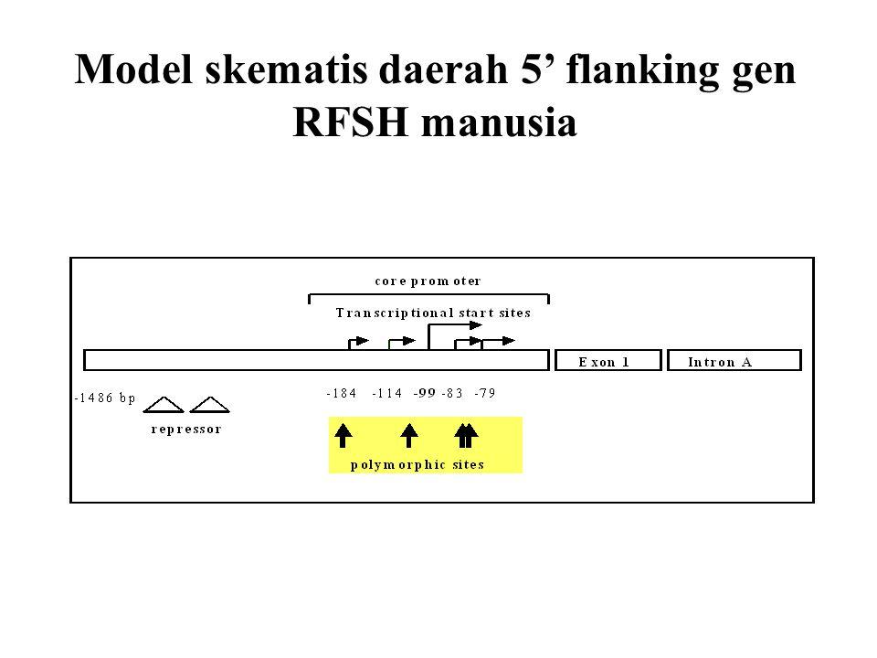 Model skematis daerah 5' flanking gen RFSH manusia