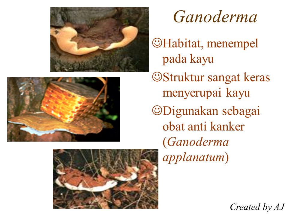 Ganoderma Habitat, menempel pada kayu