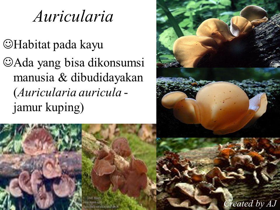 Auricularia Habitat pada kayu