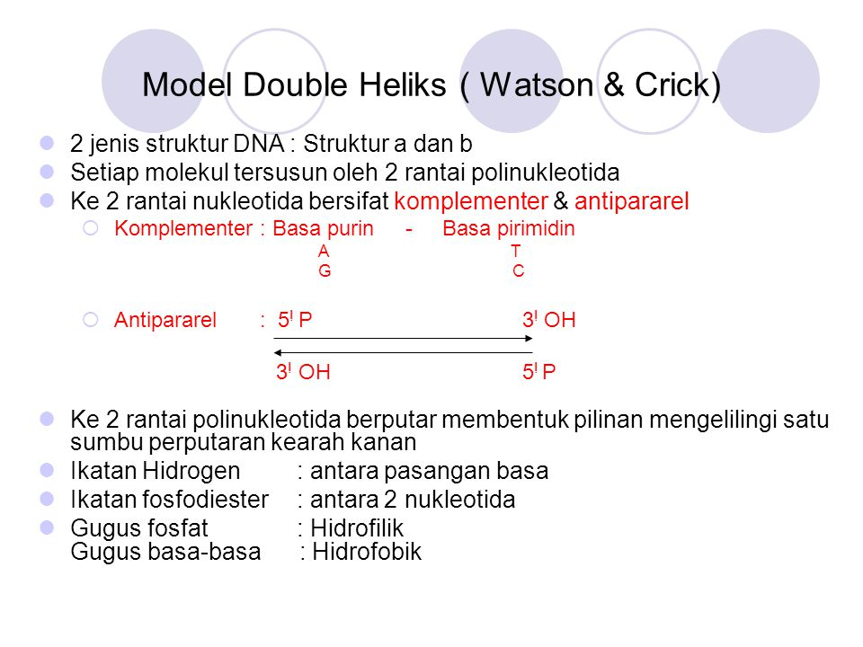 Model Double Heliks ( Watson & Crick)