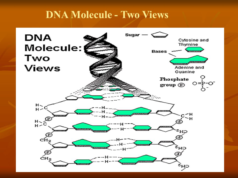 DNA Molecule - Two Views