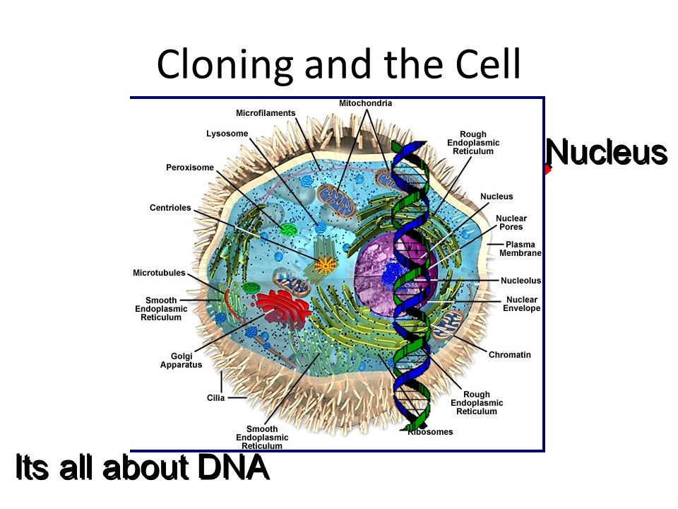 Cloning and the Cell Nucleus Its all about DNA
