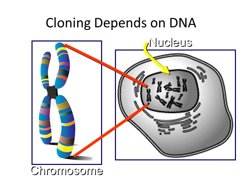 Cloning Depends on DNA Nucleus Chromosome