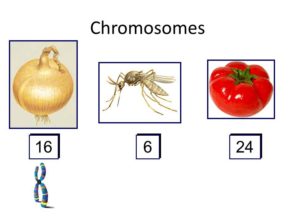 Chromosomes 16 6 24