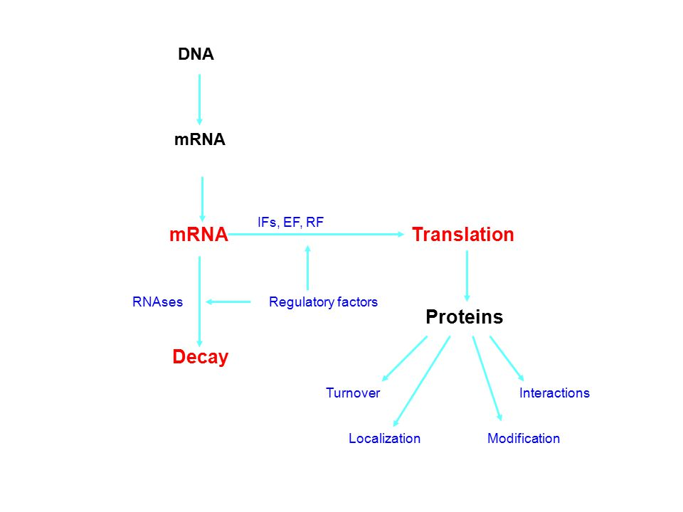 mRNA Translation Proteins Decay DNA mRNA IFs, EF, RF RNAses