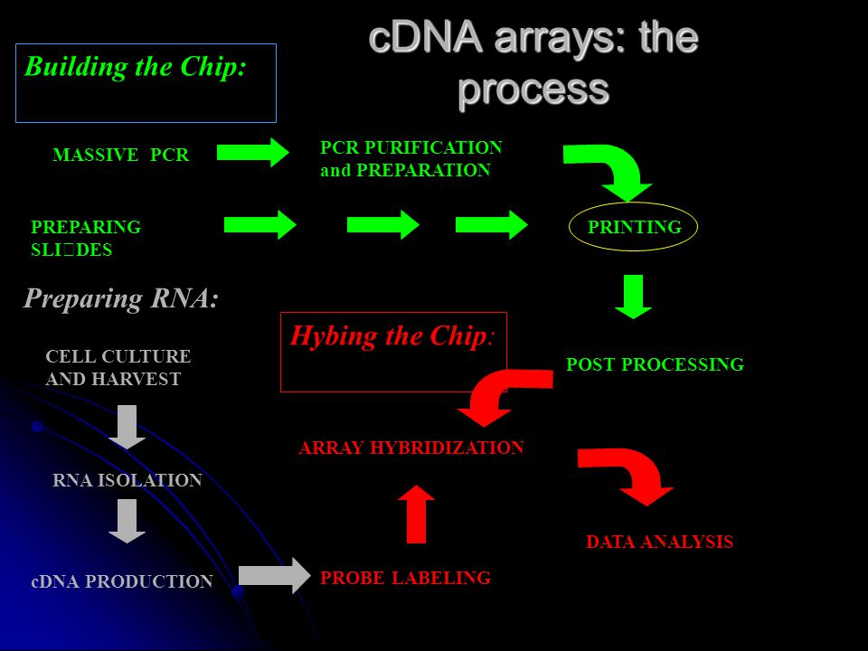 cDNA arrays: the process