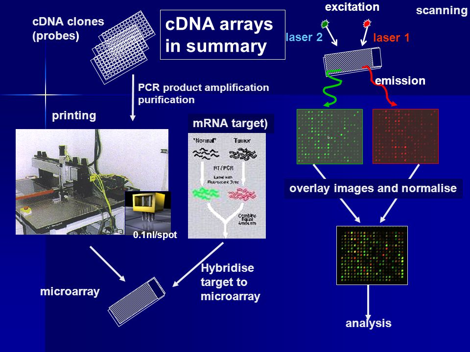 cDNA arrays in summary excitation scanning cDNA clones (probes)